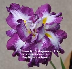 Buy Japanese Iris
