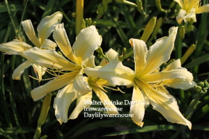 Buy Daylilies ONLINE