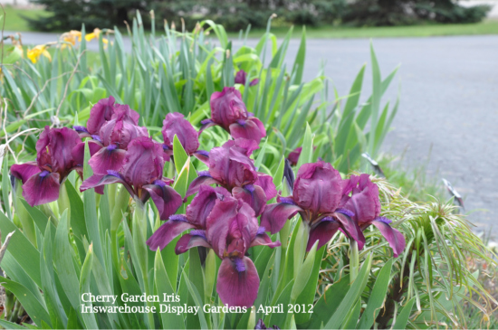 Buy Median & Dwarf Iris