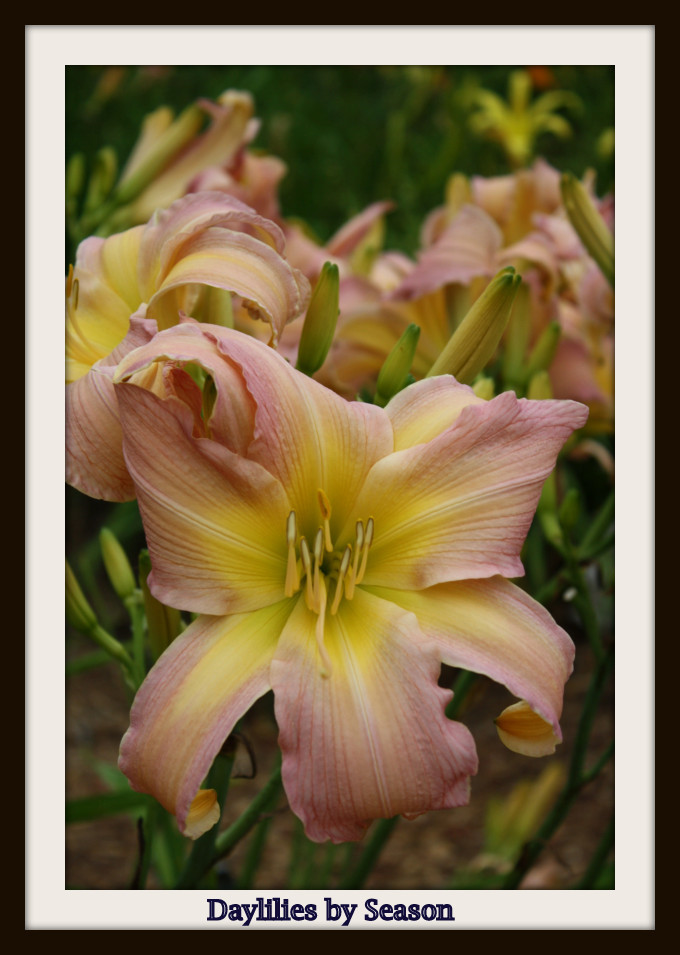 Daylilies by Bloom Season