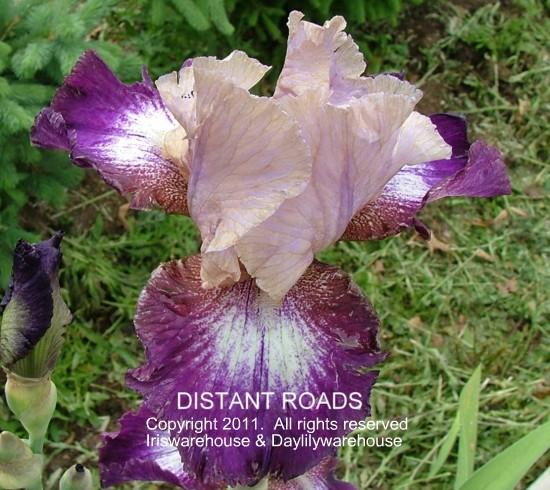 Iris D-F