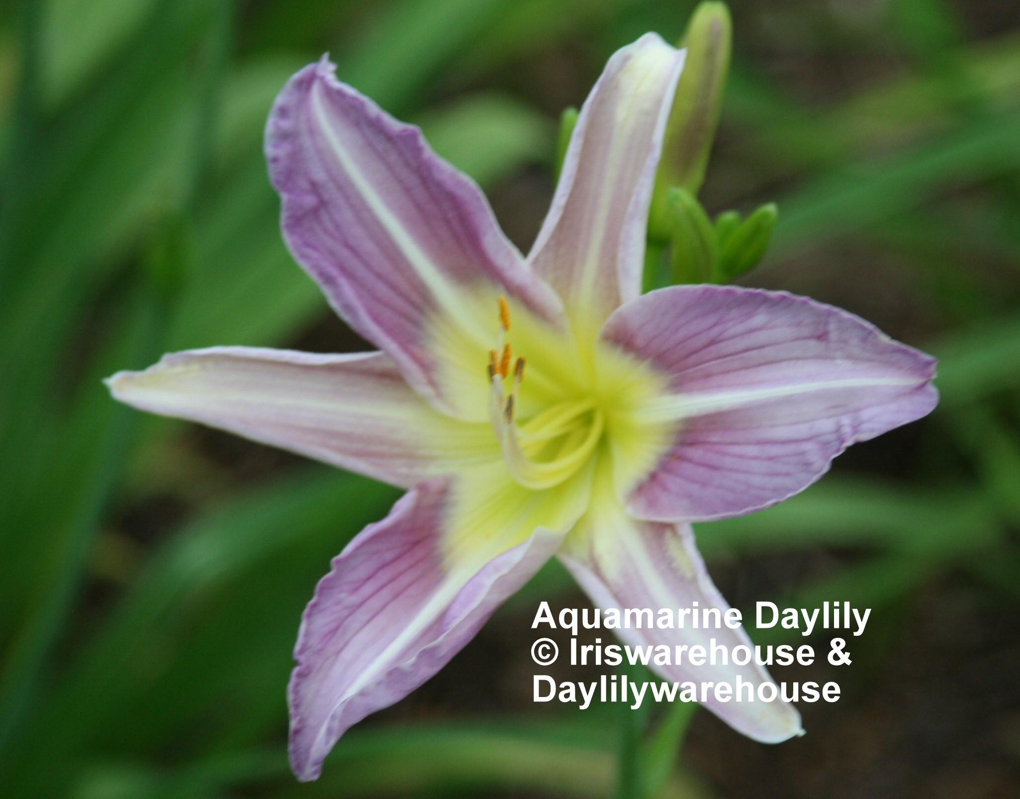 Aquamarine Daylily