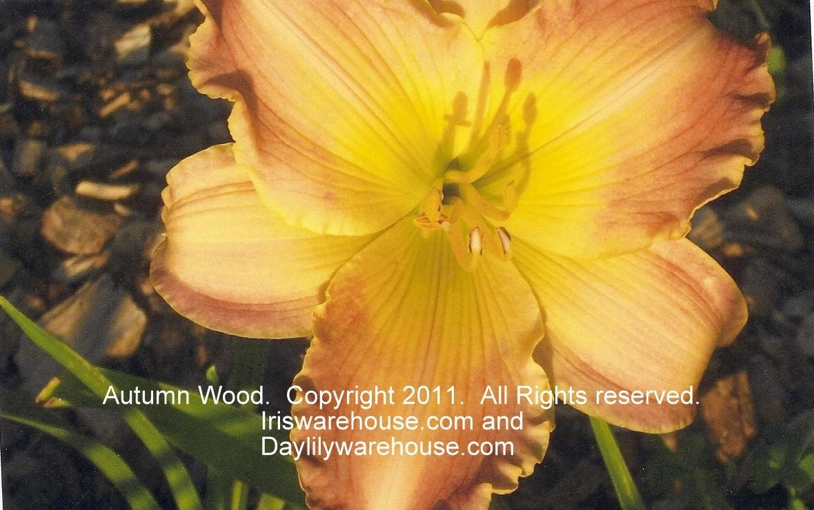 Autumn Wood Daylily