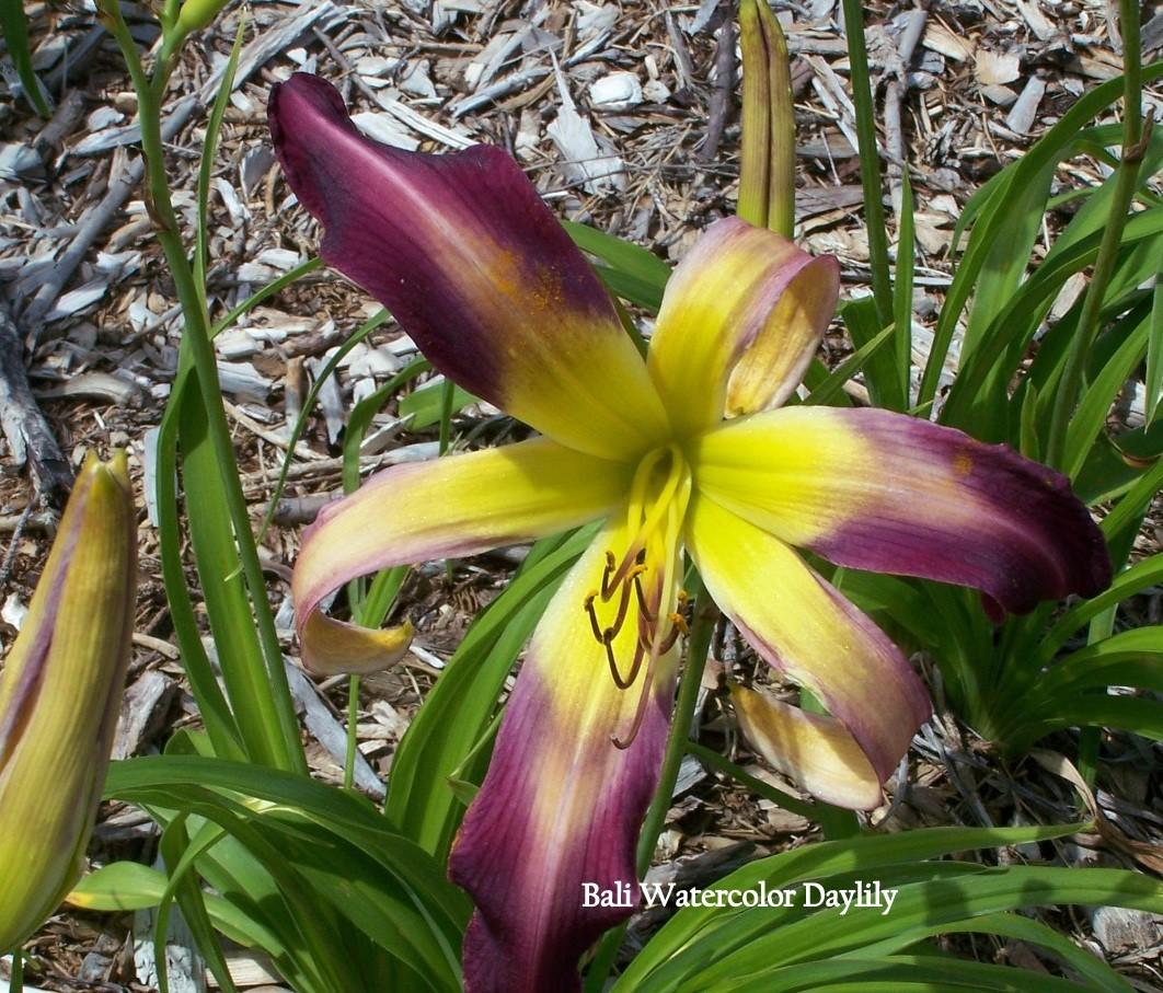 Bali Watercolor Daylily