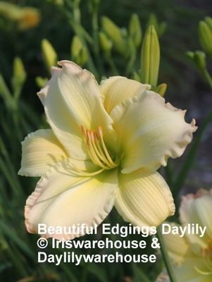 Beautiful Edgings Daylily