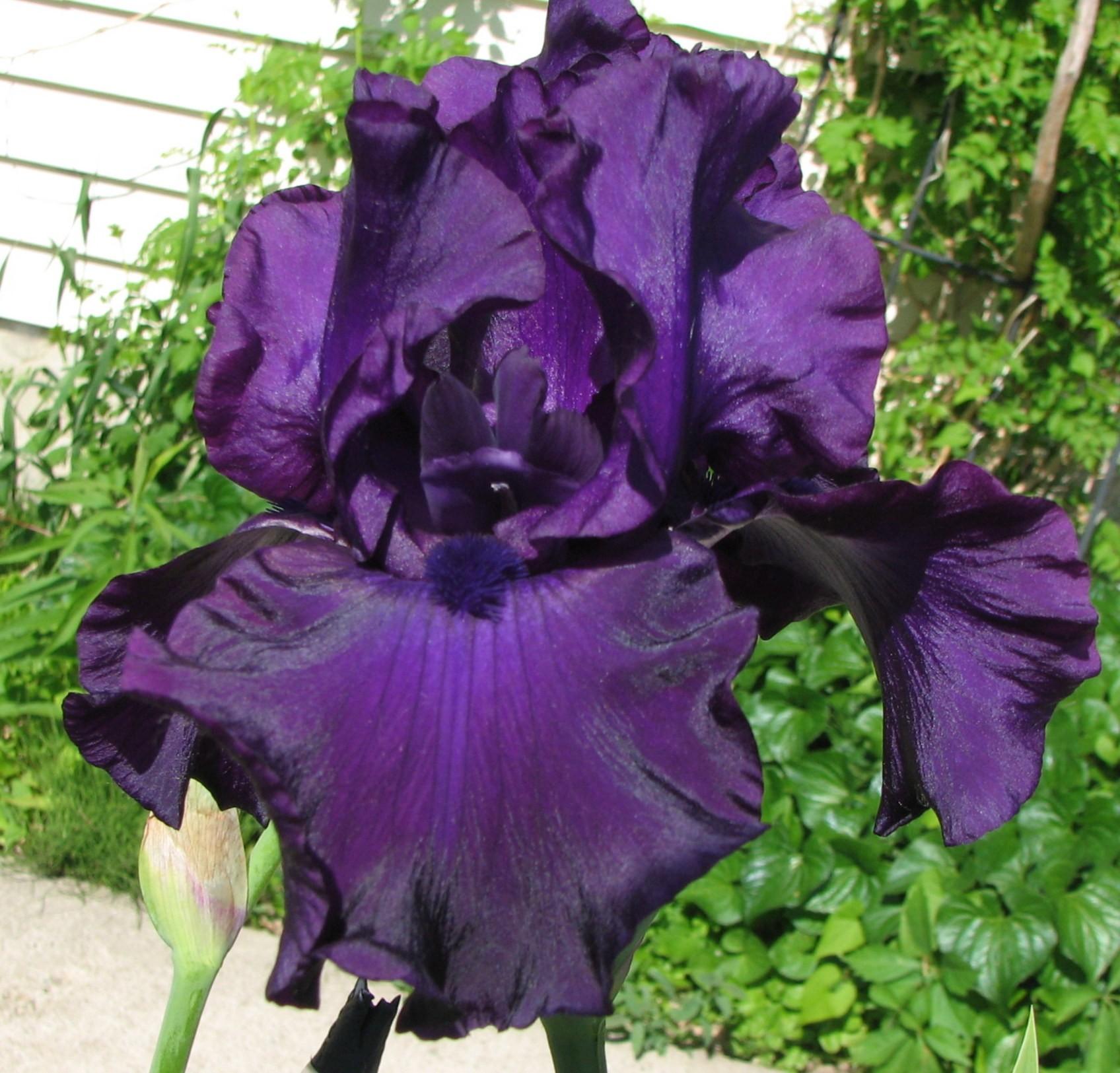Black Tornado Iris
