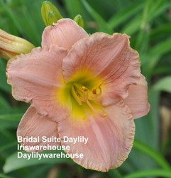 Bridal Suite Daylily