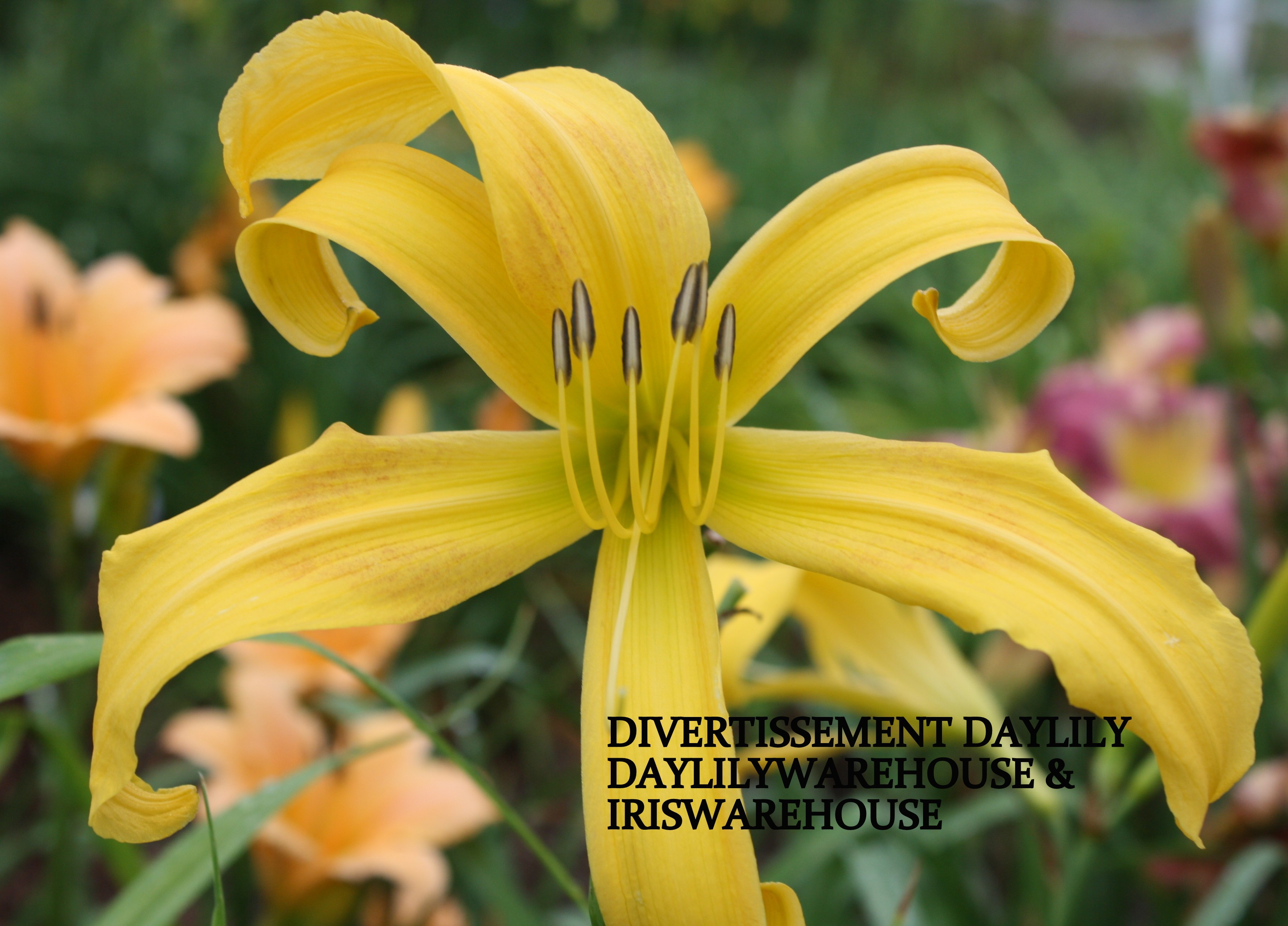 Diversissment Daylily