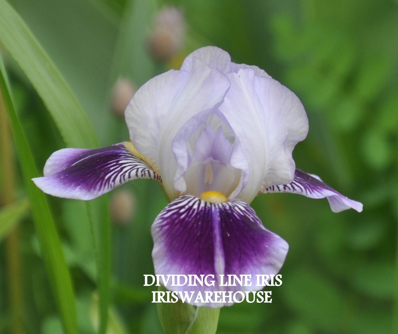 Dividing Line Iris