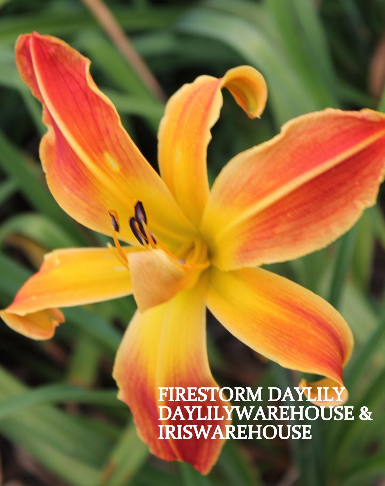 Firestorm Daylily