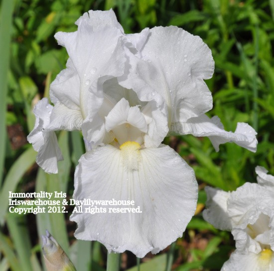 Immortality Iris