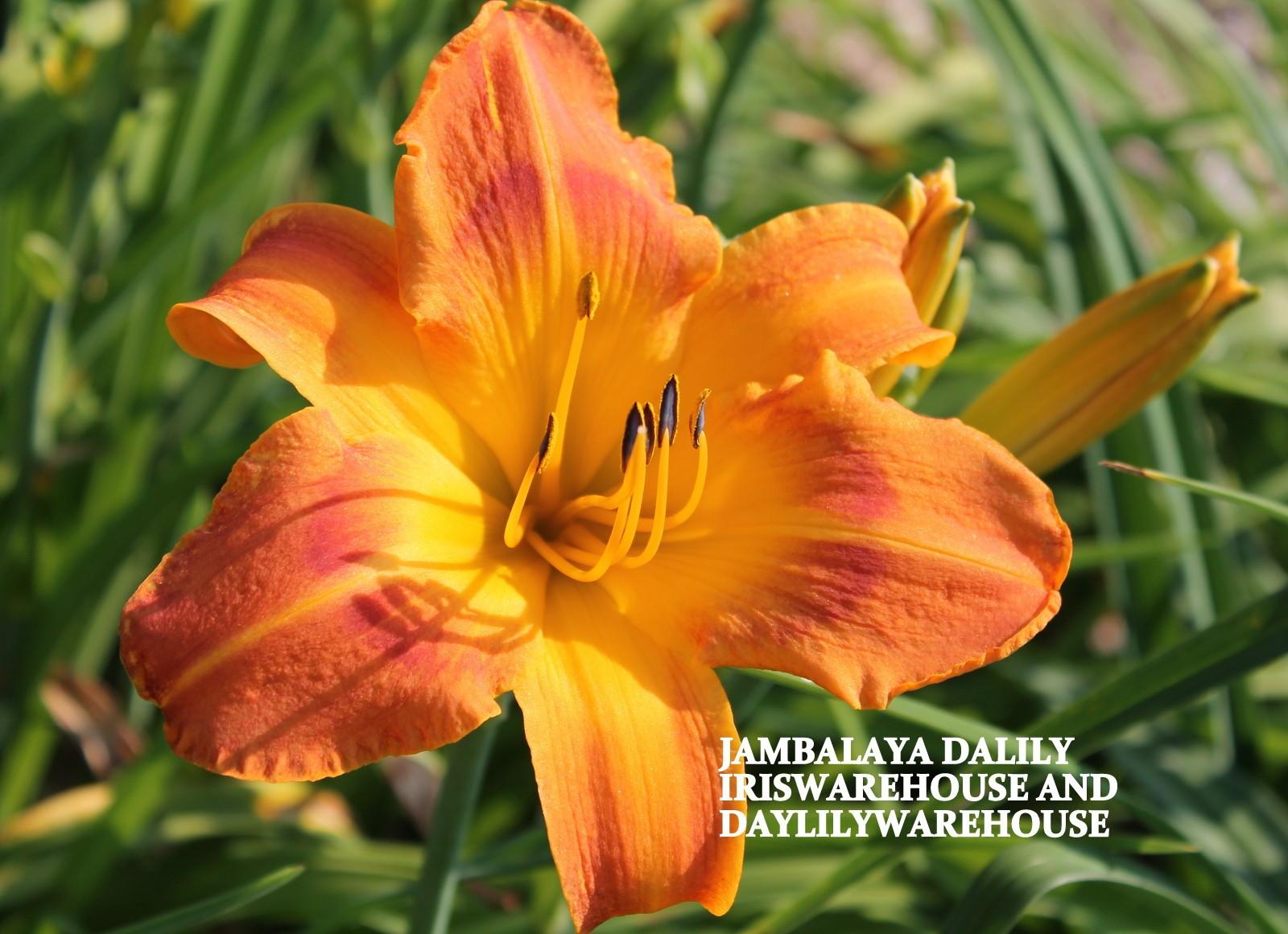 Jambalaya Daylily