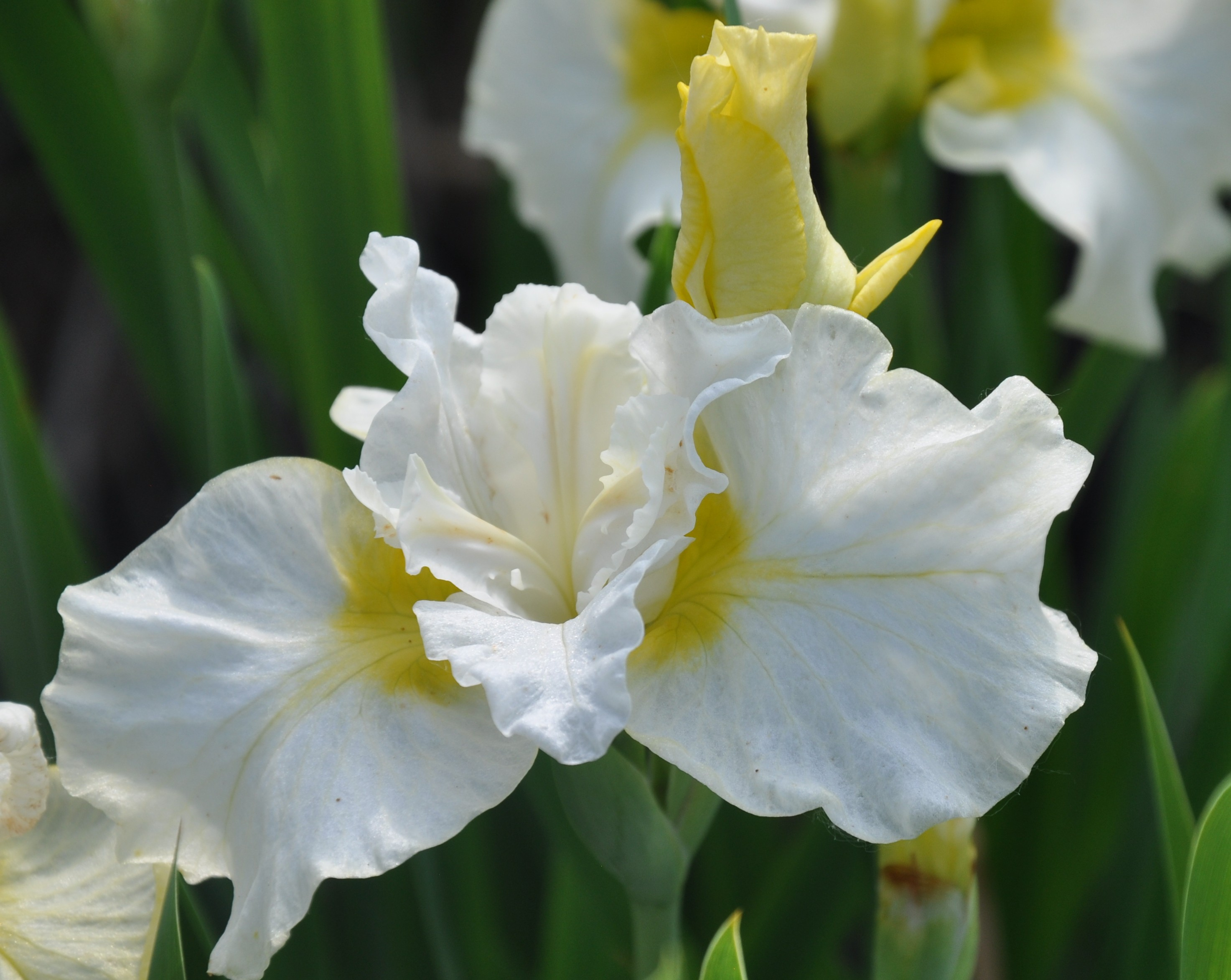 Lemon Mousse Siberian Iris