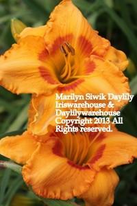 Marilyn Siwik Daylily
