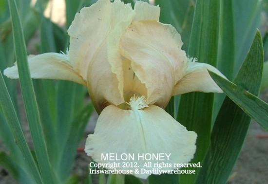 Melon Honey Iris