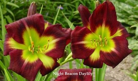 Night Beacon Daylily