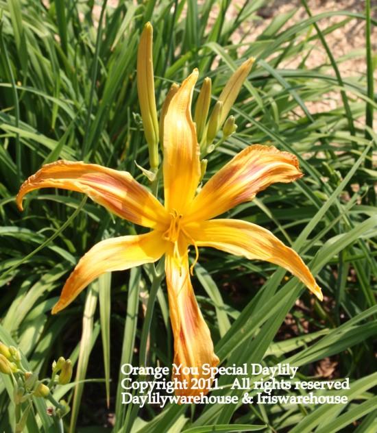 Orange You Special Daylily