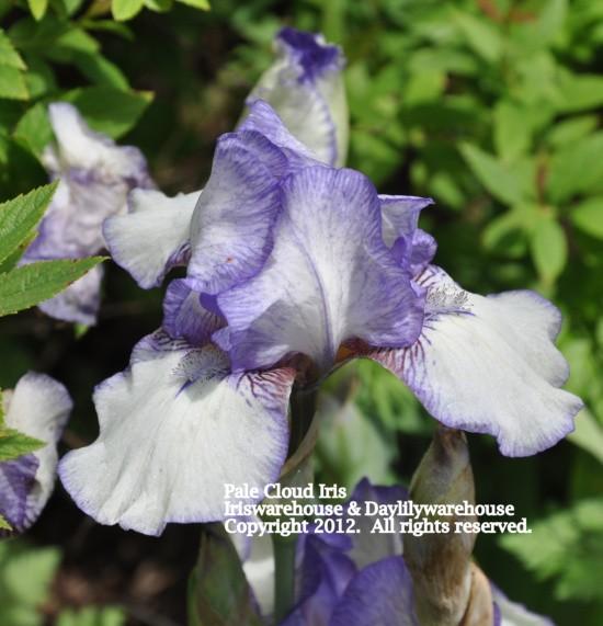 Pale Cloud Iris