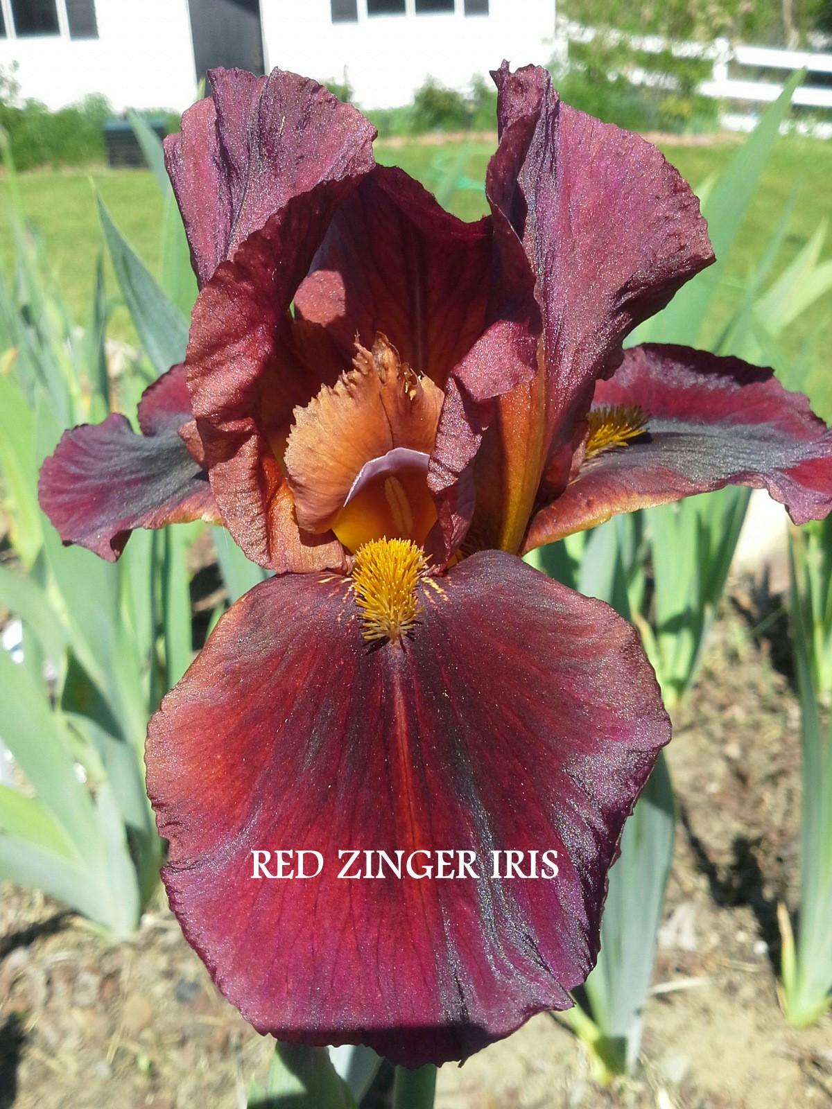 Red Zinger Iris