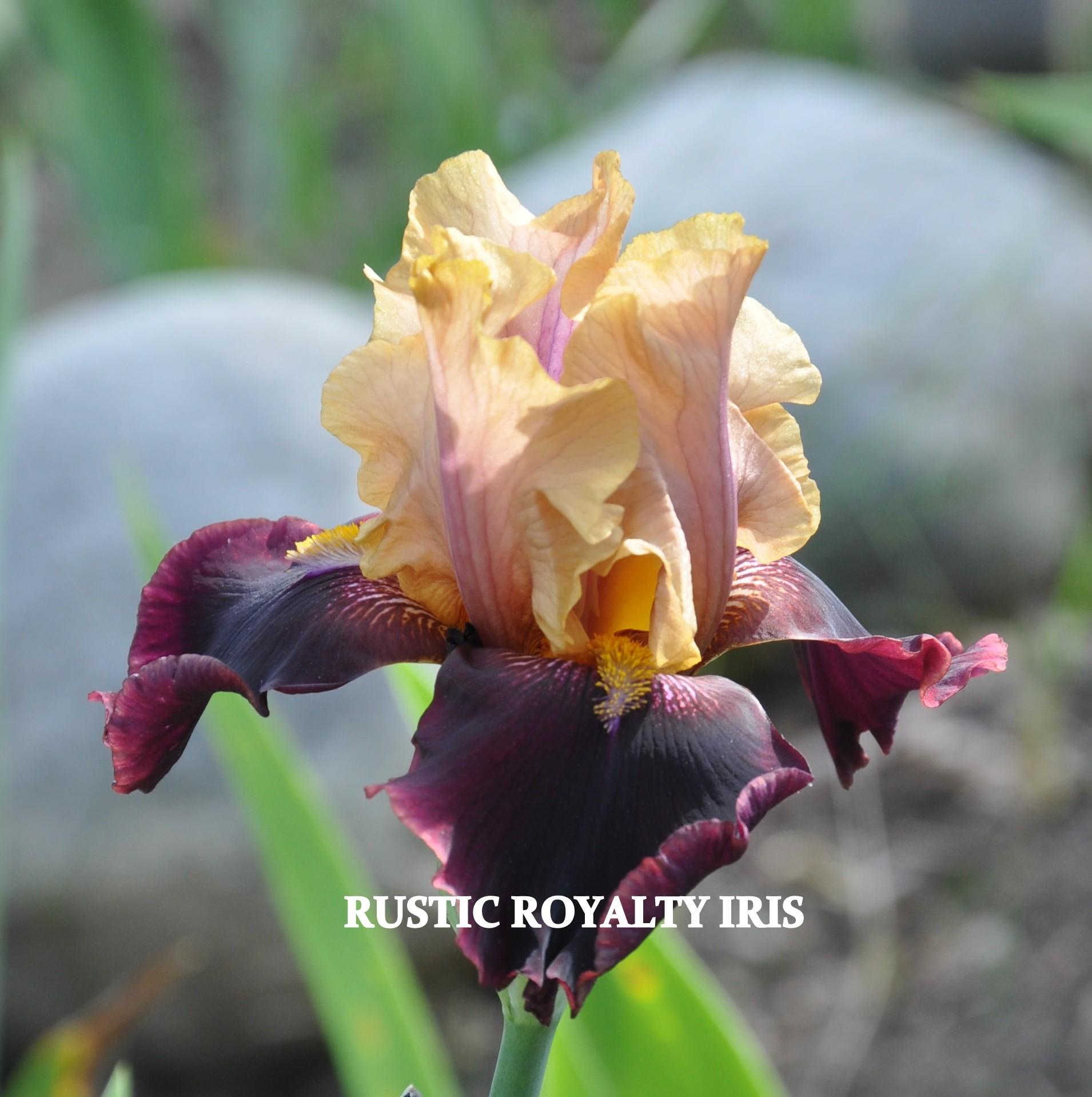 Rustic Royalty Iris