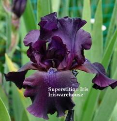 Superstition Iris