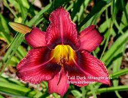 Tall Dark Stranger Daylily