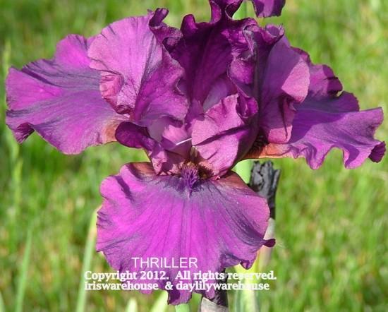 Thriller Iris