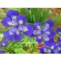 Roku Oji Siberian Iris