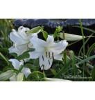 Casa Blanca Lily Bulb
