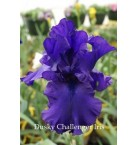 Dusky Challenger Iris