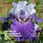 Best Bet Iris
