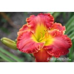 All Aboard For Columbus Daylily