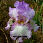 Autumn Tryst Iris