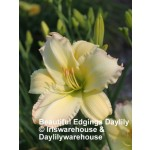 Beautiful Edgings Daylily
