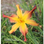 Blushing Jellyfish Daylily