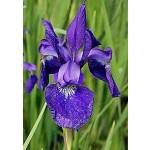 Caesar's Brother Siberian Iris
