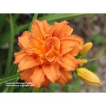 Carpener Shavings Daylily