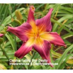 Catch A Falling Star Daylily