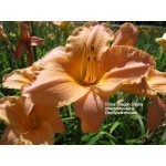 China Dragon Daylily