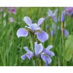 China Spring Siberian Iris