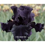 Coal Seams Iris