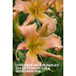 Concorde Nelson Daylily
