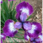 Currier Siberian Iris