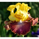 Darcys Choice Iris