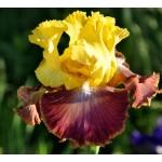 Darcys Choice Iris