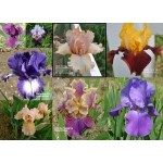 Iris Noid Collage