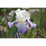 Shoreline Iris