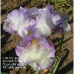 Earl of Essex Iris