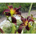 Elmers Tune Fest Daylily