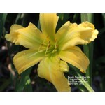 Faber Sabre Daylily